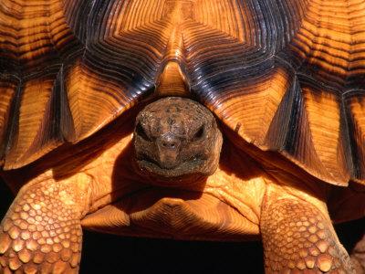 Angonoka or Ploughshare Tortoise, Madagascar Stretched Canvas Print