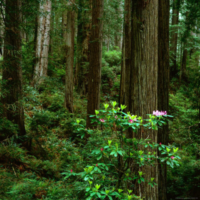 Rhododendron Bush in Front of Redwood Trees, Redwood National Park, USA Stretched Canvas Print