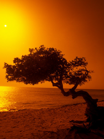Lone Divi Divi Tree at Sunset, Aruba Stretched Canvas Print