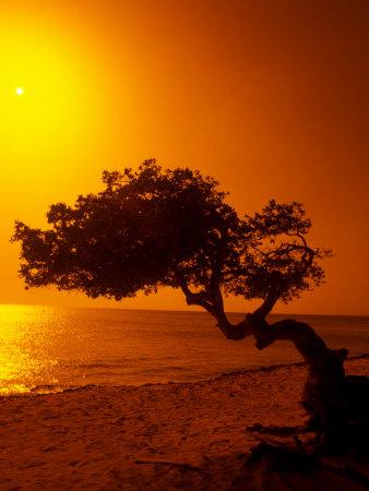 Lone Divi Divi Tree at Sunset, Aruba Stretched Canvas Print