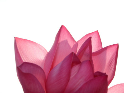 Lotus Flower in Full Bloom Stretched Canvas Print