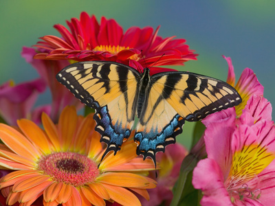 Eastern Tiger Swallowtail Female on Gerber Daisies, Sammamish, Washington, USA Stretched Canvas Print