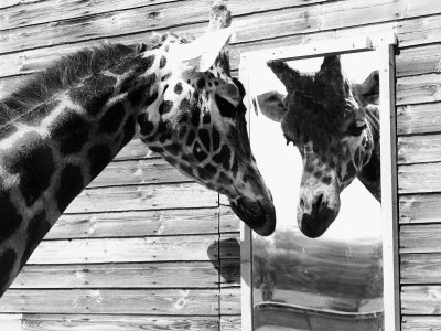 Maxi the Giraffe Gazing at Reflection in Mirror, 1980 Stretched Canvas Print