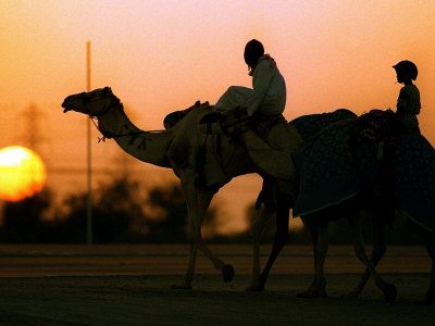 Camels at Sunset in Dubai, March 2000 Stretched Canvas Print