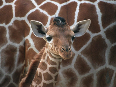 Baby Giraffe at Whipsnade Wild Animal Park Born, June 1996 Stretched Canvas Print
