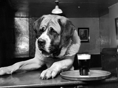 Bryan the St. Bernard Dog Enjoys a Pint, February 1956 Stretched Canvas Print