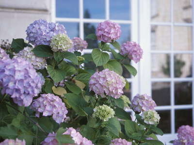 Purple Hydrangea in Front of Glass Window Stretched Canvas Print
