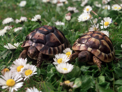 Tortoises in the Flower Beds Stretched Canvas Print