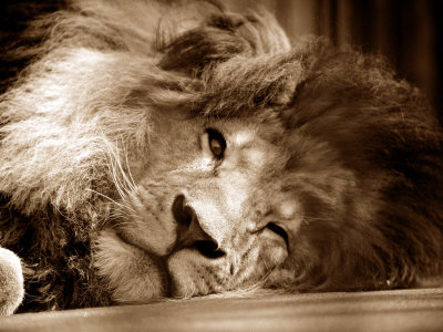 Lion Sleeping at Whipsnade Zoo Asleep One Eye Open, March 1959 Stretched Canvas Print