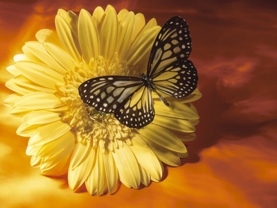 Black and Yellow Butterfly on Yellow Flower Stretched Canvas Print