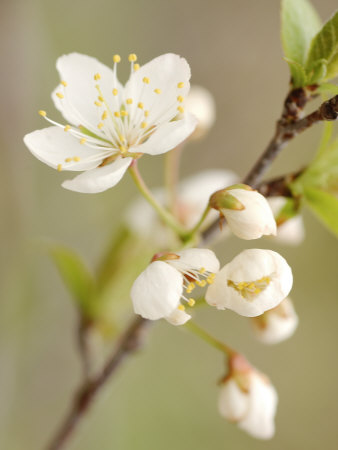 White Apple Blossom Stretched Canvas Print
