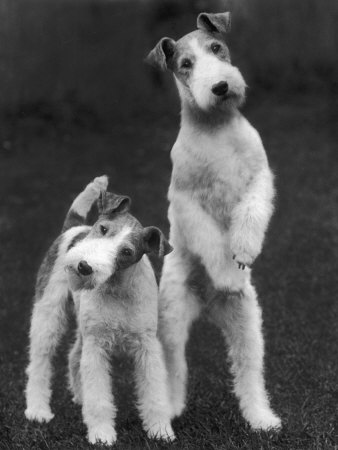 Belsize Mavis and Stella of Solent Two Wire Fox Terriers Stretched Canvas Print