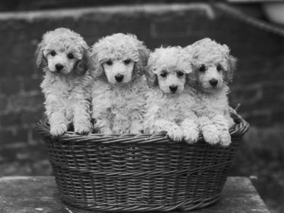 "Four ""Buckwheat"" White Minature Poodle Puppies Standing in a Basket Stretched Canvas Print"