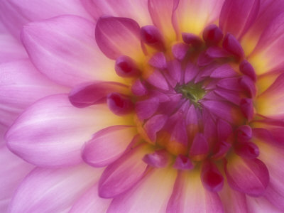 Dahlia, Sammamish, Washington, USA Stretched Canvas Print