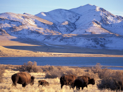 Bison above Great Salt Lake, Antelope Island State Park, Utah, USA Stretched Canvas Print