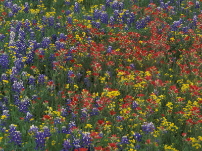Texas Paintbrush and Bluebonnets with Low Bladderpod, Hill Country, Texas, USA Stretched Canvas Print