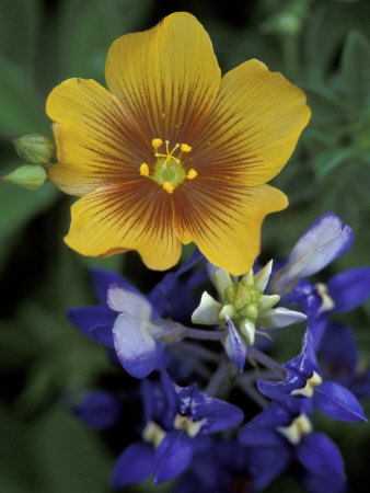 Yellow Flax, Bluebonnets, Moore, Texas, USA Stretched Canvas Print