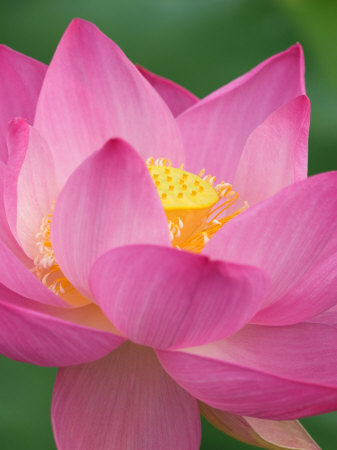 Perry's Water Garden, Lotus Blossom, Franklin, North Carolina, USA Stretched Canvas Print