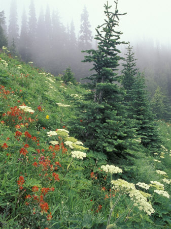 Indian Paintbrush and Cow Parsnip, Olympic National Park, Washington, USA Stretched Canvas Print
