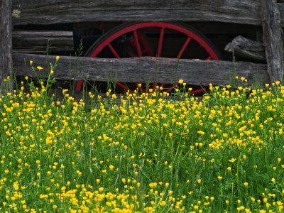 Buttercups and Wagon Wheel, Pioneer Homestead, Great Smoky Mountains National Park, North Carolina Stretched Canvas Print