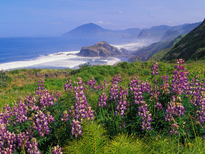 Lupine Flowers and Rugged Coastline along Southern Oregon, USA Stretched Canvas Print