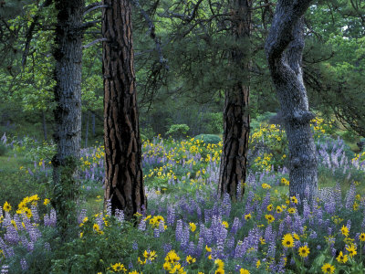 Balsam Root and Lupine Among Pacific Ponderosa Pine, Rowena, Oregon, USA Stretched Canvas Print