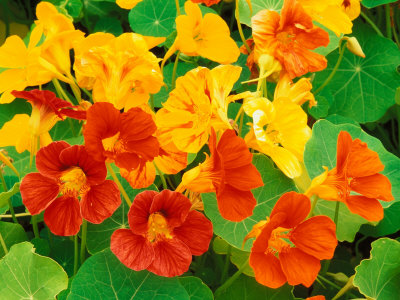 معلوماتعن  زهرة ابو خنجر الجميله Adam-jones-nasturtium-flowers-tropaeolum-seattle-washington-usa
