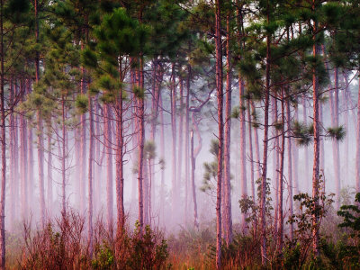 Mist Among Pine Trees at Sunrise, Everglades National Park, Florida, USA Stretched Canvas Print