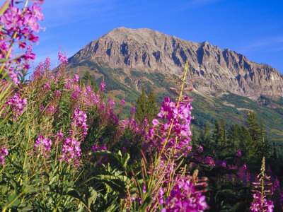 Fireweed and Mt. Gothic near Crested Butte, Colorado, USA Stretched Canvas Print