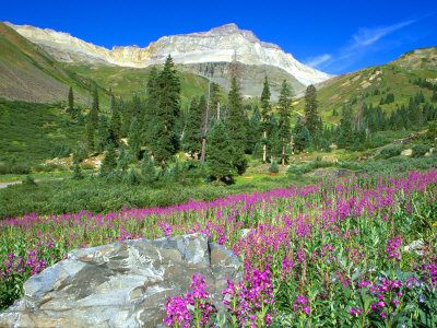 Meadow of Fireweed in Mt. Sneffels Wilderness Area, Colorado, USA Stretched Canvas Print