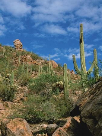 Desert Cactus Adaptations