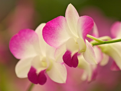 Orchids, Selby Gardens, Sarasota, Florida, USA Stretched Canvas Print