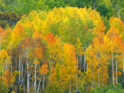 Autumn Aspens in Kebler Pass, Colorado, USA Stretched Canvas Print