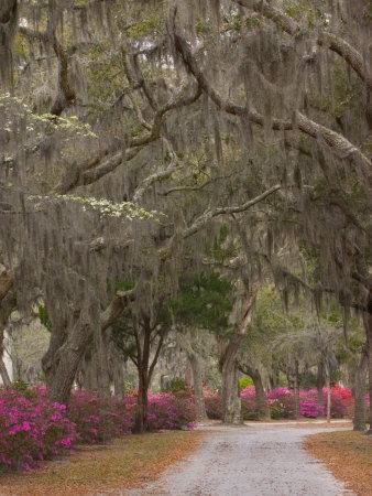 Bonaventure Cemetery with Moss Draped Oak, Dogwoods and Azaleas, Savannah, Georgia, USA Stretched Canvas Print