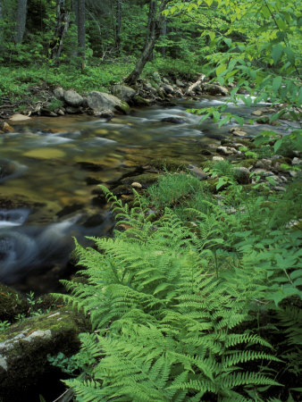 Lady Fern, Lyman Brook, The Nature Conservancy's Bunnell Tract, New Hampshire, USA Stretched Canvas Print
