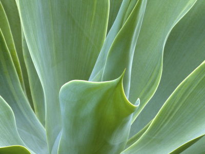 Agave Plant, Maui, Hawaii, USA Stretched Canvas Print