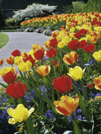 Tulips Buchart Garden Victoria British Columbia, Canada Stretched Canvas Print