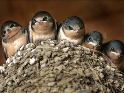Five Baby Barn Swallows Peer out from Their Nest Stretched Canvas Print