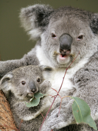 An 8-Month-Old Koala Joey Stretched Canvas Print