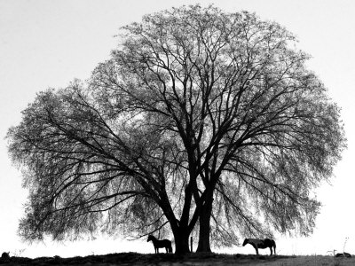 A Pair of Horses Stake out Spots Under the Young Leaves of a Shade Tree Near Sparta Stretched Canvas Print
