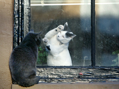 Separated by a Pane of Glass, a White Cat Tries to Play with a Black Cat Stretched Canvas Print