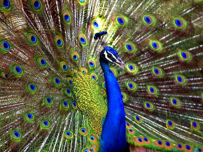 A Peacock Spreads its Feathers at the Alipore Zoo Stretched Canvas Print