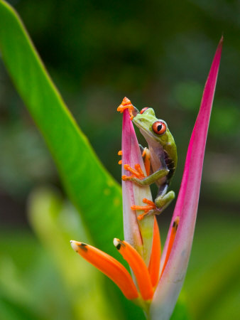 Red-Eye Tree Frog, Costa Rica Stretched Canvas Print