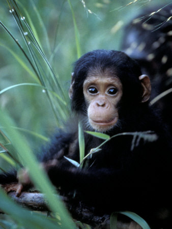 Infant Chimpanzee, Gombe National Park, Tanzania Stretched Canvas Print