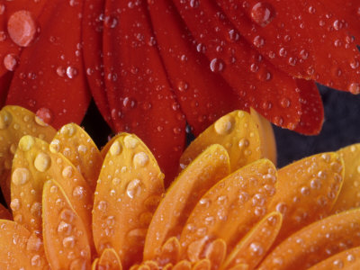 Gerbera with Water Drops Stretched Canvas Print