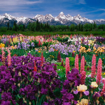 Iris and Lupin Garden, Teton Range Stretched Canvas Print
