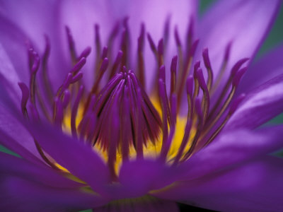 Purple and Yellow Lotus Flower, Bangkok, Thailand Stretched Canvas Print