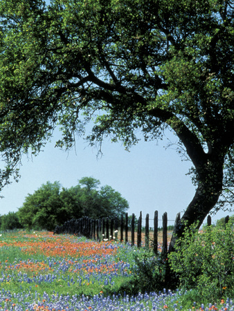 Paintbrush and Bluebonnets, Texas Hill Country, Texas, USA Stretched Canvas Print