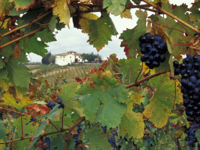 Farmhouse View Through Grapevine, Tuscany, Italy Stretched Canvas Print