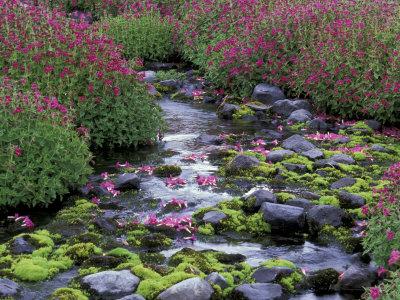 Monkeyflowers along Paradise Creek, Mt. Rainier National Park, Washington, USA Stretched Canvas Print